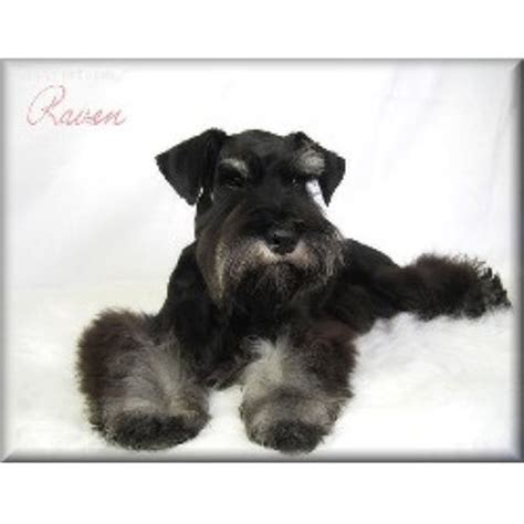miniature schnauzer puppies for sale in ky snowbound schnauzers miniature schnauzer breeder in berea kentucky listing id 13364