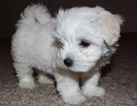 malshipoo puppies maltipoo puppies just born maltipoo and malshipoo puppies just in time for