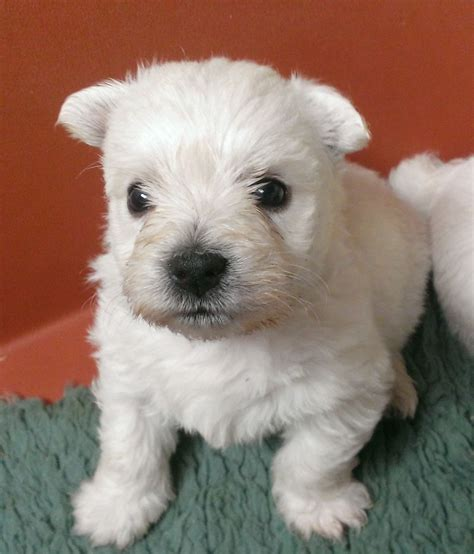 westie puppies westie puppy shepton mallet somerset pets4homes