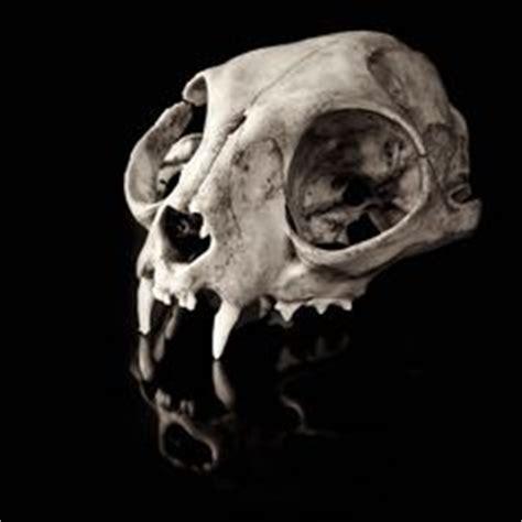 tattoo animal quiz real human skull with polished metal teeth and custom