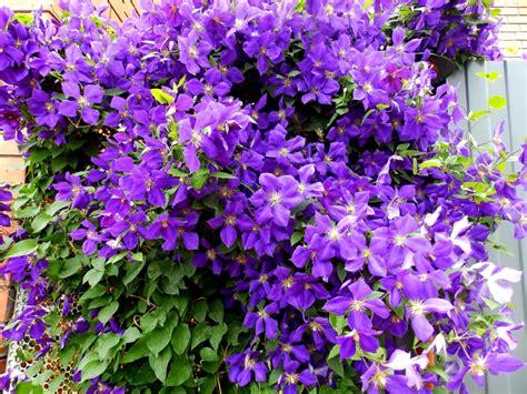 blühende kletterpflanzen winterhart mehrjährig clematis winterhart clematis florida sieboldii