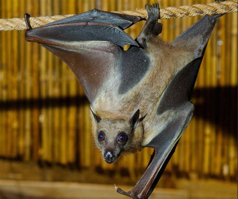 straw colored twievo 5 looking at straw colored fruit bats through a