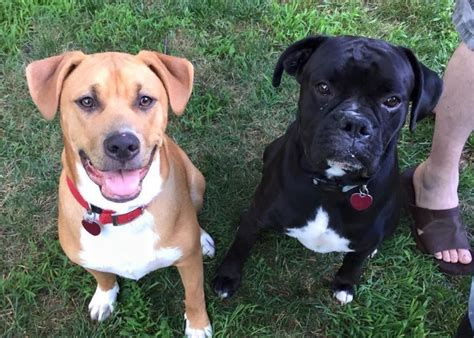 boxer lab mix puppies 25 best ideas about boxer lab mixes on