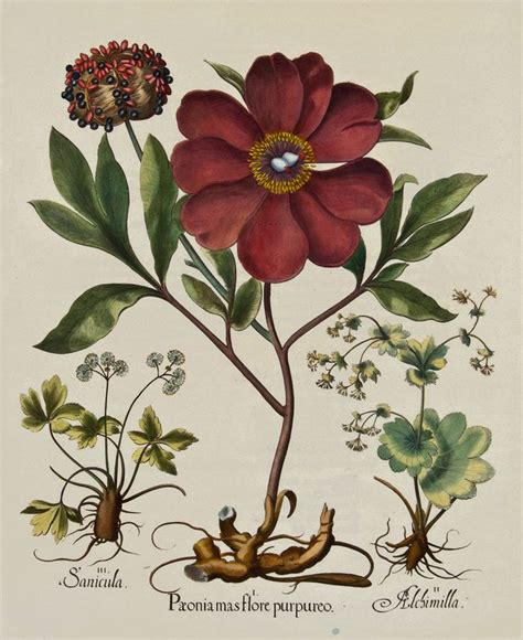 basilius beslers florilegium the 97 les 97 meilleures images du tableau botanical paeonia sur dessins botaniques
