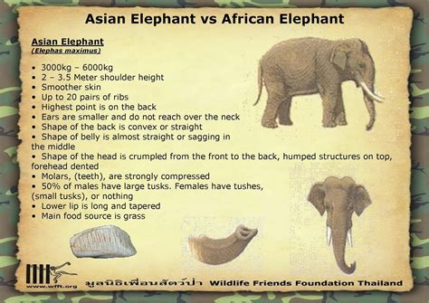 african elephant facts rules of the jungle difference between african and asian