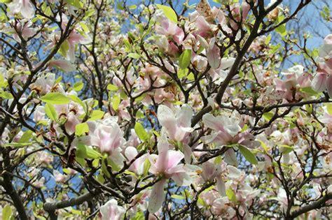 Magnolia Tree Shedding Leaves by Crejjtion Colors