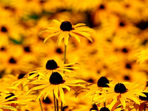 black wallpaper with yellow flowers flowers wallpapers yellow flowers wallpapers