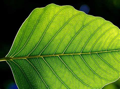 file leaf 1 web jpg wikipedia