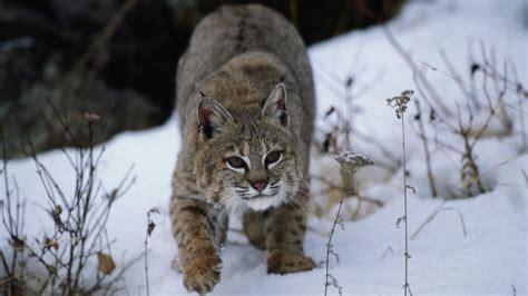 bobcats     brink  possibly