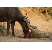 Lions Attack 1 Buffalo Lion Vs 2014 Jpg Pictures To Pin On