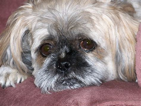 how often should you wash a shih tzu shih tzu grooming archives small breed pup