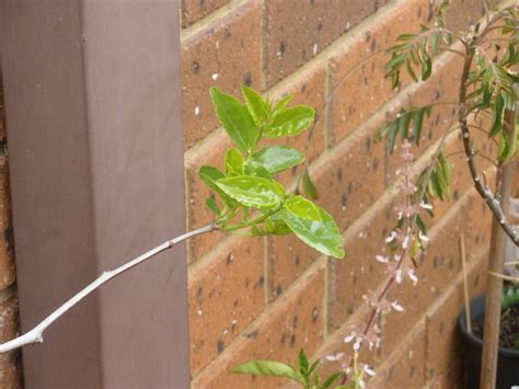 best fruit trees to grow in melbourne forum tropical fruit trees successfuly grown in melbourne
