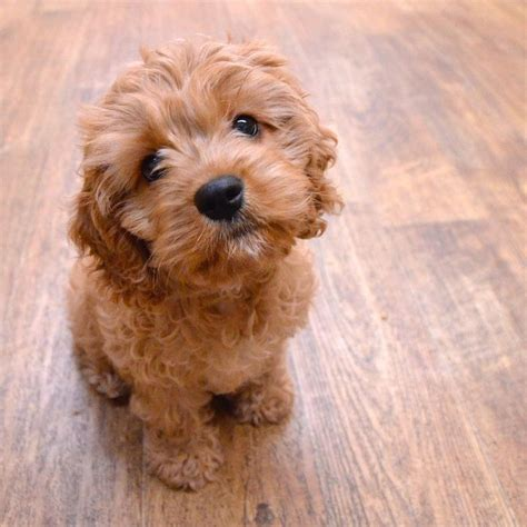 Best Place To Post Resume by 25 Best Ideas About Cavapoo Puppies On Pinterest