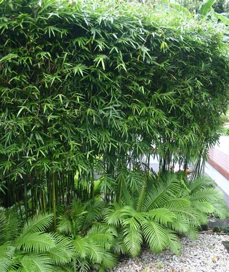 bamboo trees for backyard 25 best ideas about bamboo screening on pinterest