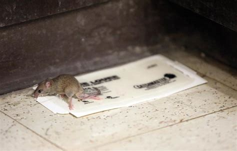 mice in cus center albany student press