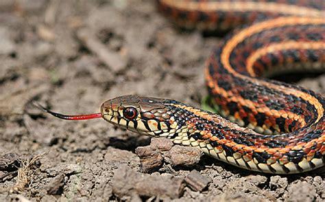 Garter Snake Venom Effects Universal Antivemon Could Neutralize Venom Of 28 Different