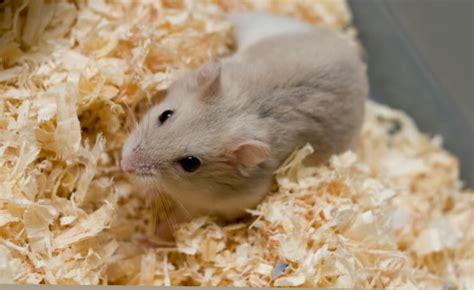 bedding for hamsters hamster bedding enlighten me
