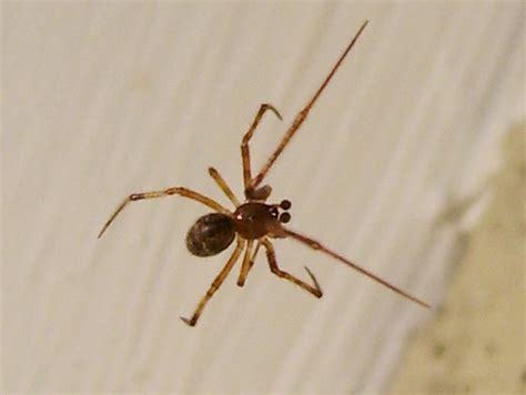 american house spider american house spider male flickr photo sharing