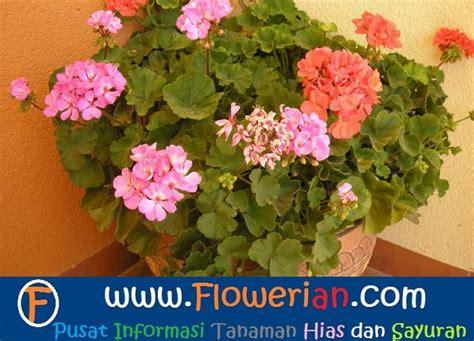 Bibit Bunga Geranium cara menanam bunga geranium anti nyamuk tanaman hias