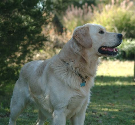 golden retrievers for sale in kansas creme golden retrievers for sale in kansas breeds picture