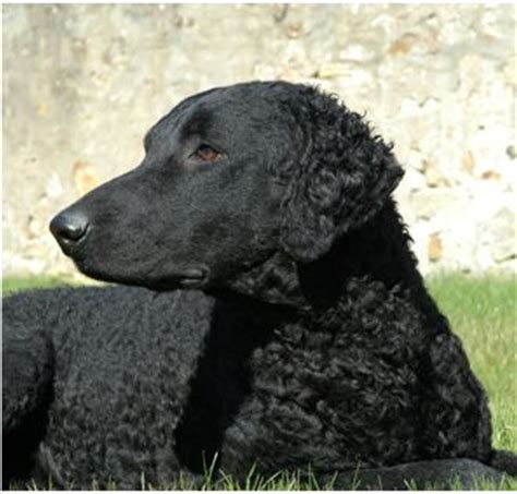golden retrievers for rehoming uk flat coated retriever for rehoming dogs in our photo