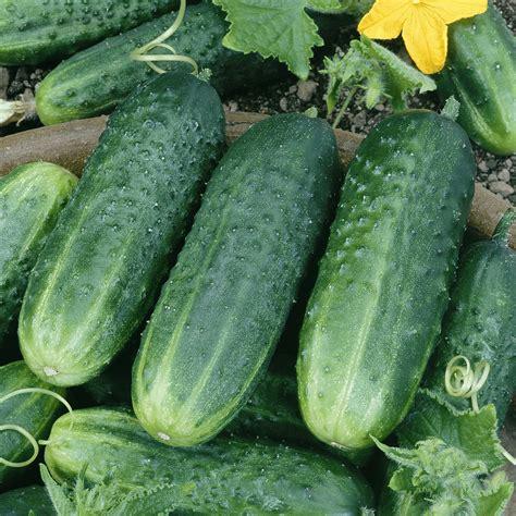 cucumber seeds pickling cucumber seeds carolina