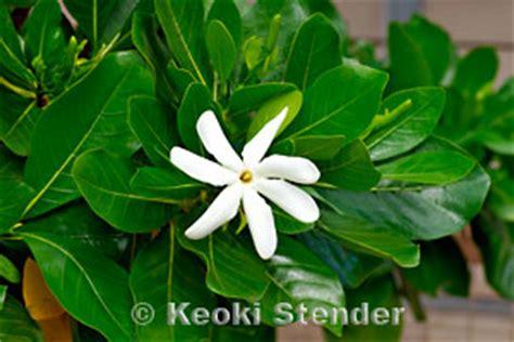 Gardenia Taitensis Tahitian Gardenia Tiare Gardenia Taitensis