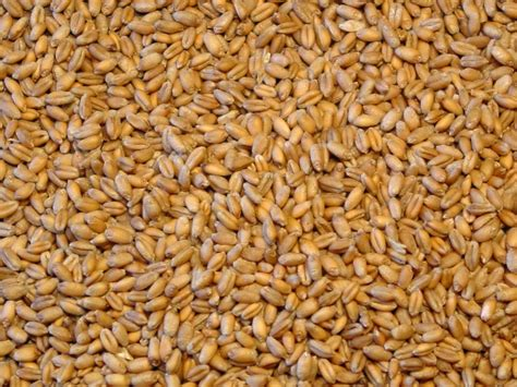 with seed be aware of wheat seed laws mississippi crop situation
