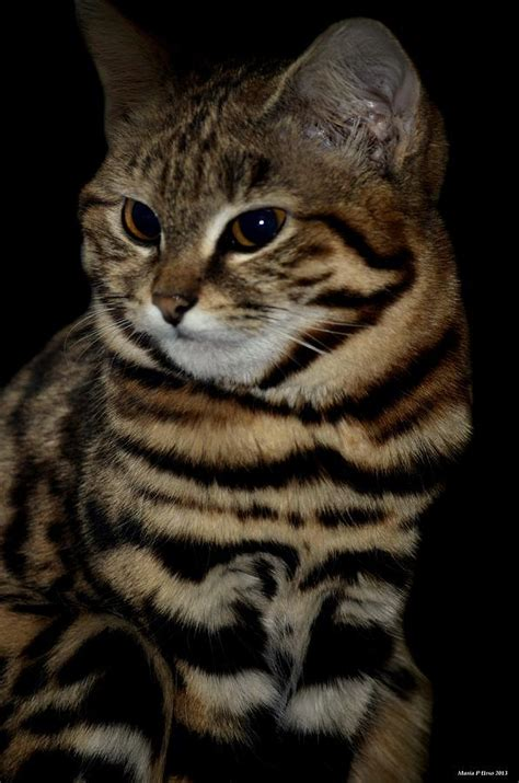 Black footed Cat Photograph by Maria Urso