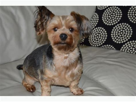 purebred yorkie purebred terrier east