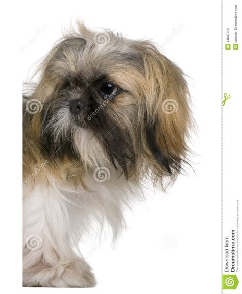 tibetan spaniel x shih tzu pin year shih tzu chihuahua cocker spaniel and tibetan mix on