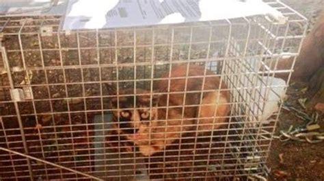 gabbia cattura gatti gatti in gabbia prima cattura si combatte anche cos 236 il