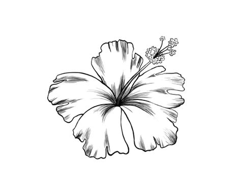 hibiscus flower drawing cliparts co