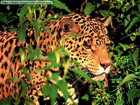 imagenes de jaguar y leopardo leopardos y jaguares taringa