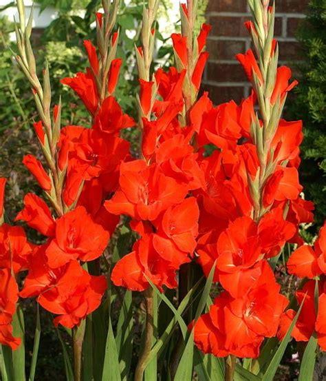 imagenes de flores gladiolas 40 mejores im 225 genes de gladiolas rojas en pinterest