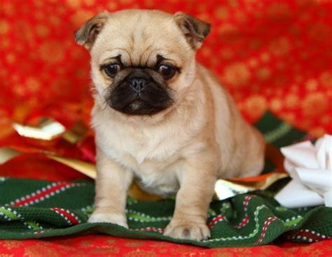 pug and pekingese pug and pekingese puginese pug mixed breeds chang e 3 and pug