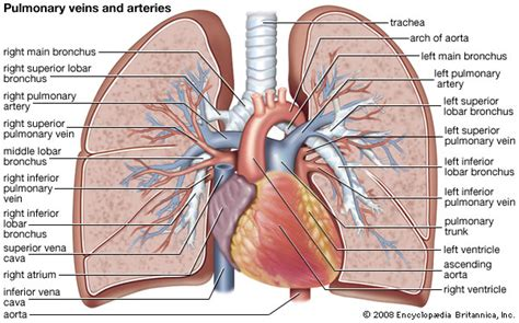 anatomy of a child s lung pediatric pulmonologists pulmonary circulation kids encyclopedia children s