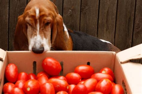 bad for dogs can dogs eat tomatoes the healthy fruit for your pets