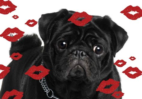 pug valentines day cards the 42 best images about pug cards on i will you