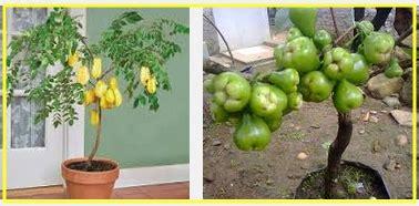 Bibit Pare Berkualitas tips membuat tanaman dalam pot cepat berbuah bibit tani