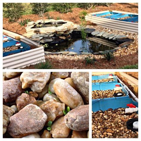 backyard tilapia backyard aquaponics in ground pond 55 gallon drums