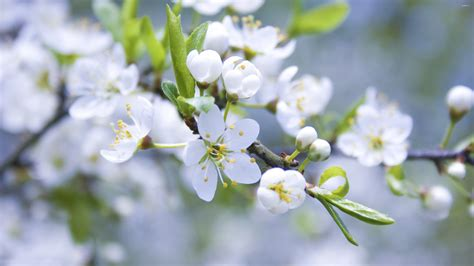 apple wallpaper white flower white blossoms 2 wallpaper flower wallpapers 28037