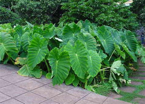 daftar nama latin tanaman pangan  gambar alamendahs blog
