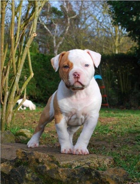 how many puppies do pitbulls in the litter white pit bull puppies pictures of white pit bull puppies