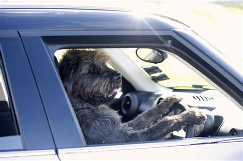 driving dogs rescue dogs are taught how to drive cars to show their intelligence