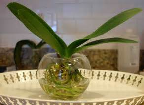 growing orchids in water hoa l 225 c 224 nh