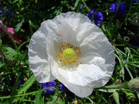 white poppy white poppy flower www imgkid the image kid has it