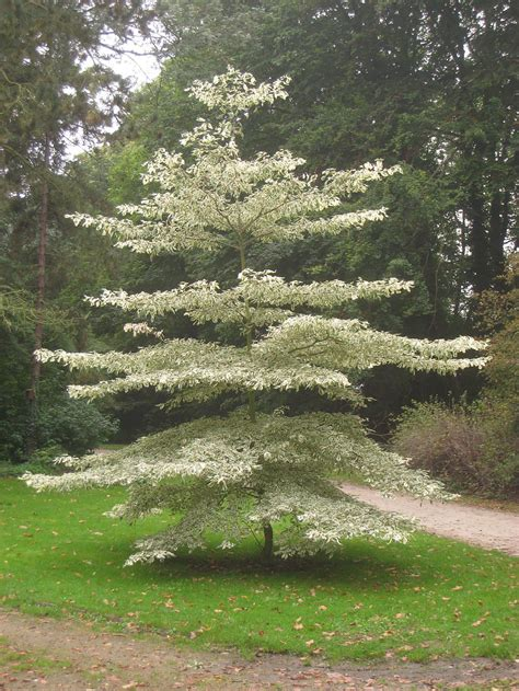 Hochzeitstorte Baum by Variegated Dogwood Trees Learn About Wedding Cake