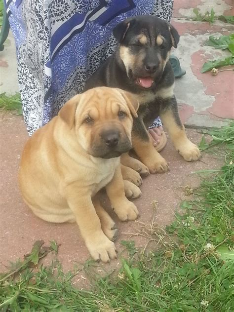 rottweiler cross shar pei for sale shar pei lab mix puppies for sale breeds picture