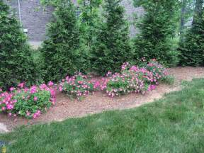 Pink drift rose pink groundcover rose bush brightens borders and